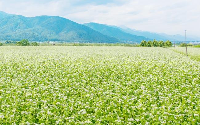 自家栽培のそば畑 イメージ